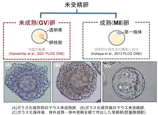 マウス未成熟卵の効率的ガラス化保存法の開発に成功